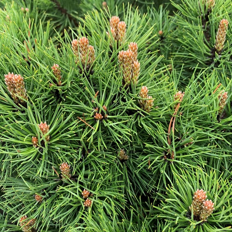 Pin noir nain (Pinus Nigra) Marie Bregeon tige 40 cm. Le pot 10 litres 111298