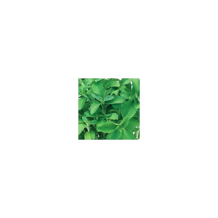 Stévia vert biologique en pot de 1 L Ø 13-15