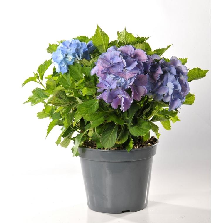 Hortensia Hydrangea Endless Summer bleu en pot de 5 L