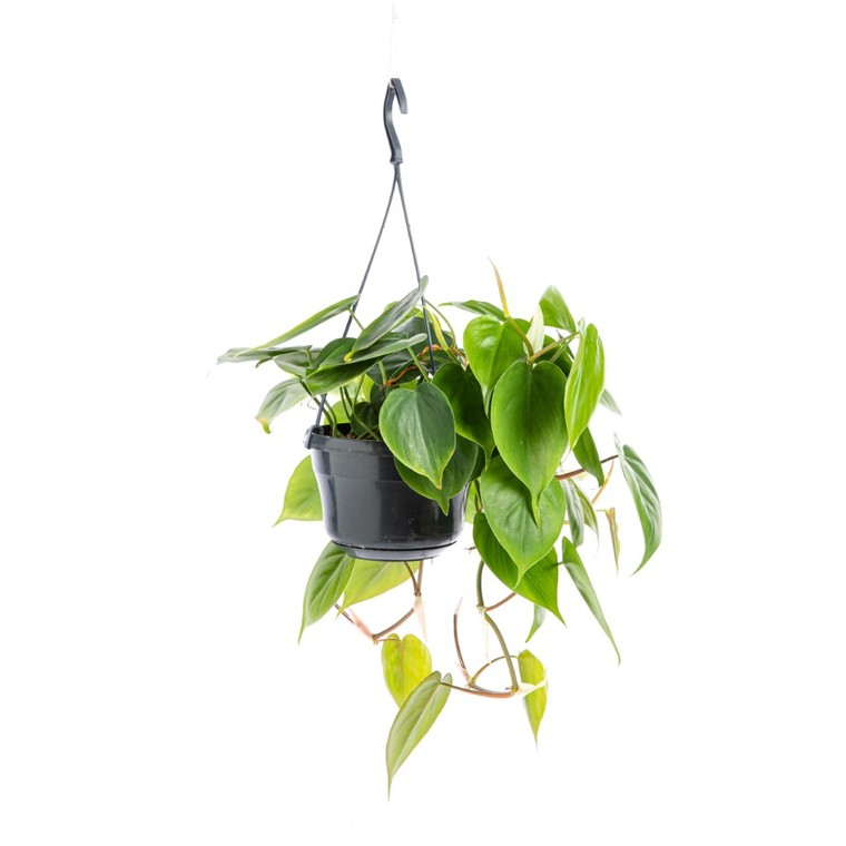 Philodendron Scandens suspension Ø18xH40 cm 115708