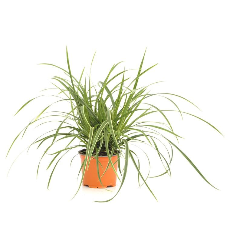 Carex Morrowii Ice Dance. Le pot de 12 cm 116026
