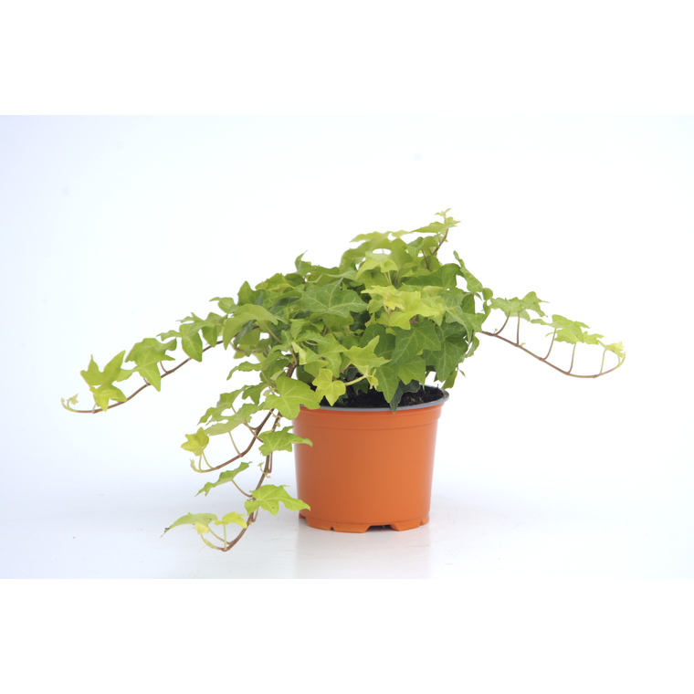 Hedera Helix Yellow Ripple. Le pot de 12 cm 116034