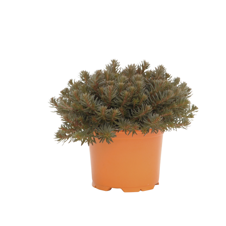 Sedum Chocolate Ball. Le pot diam 12 cm 116316