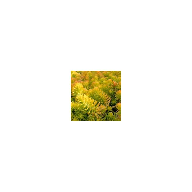 Sédum reflexum doré en pot de 1 L 116318