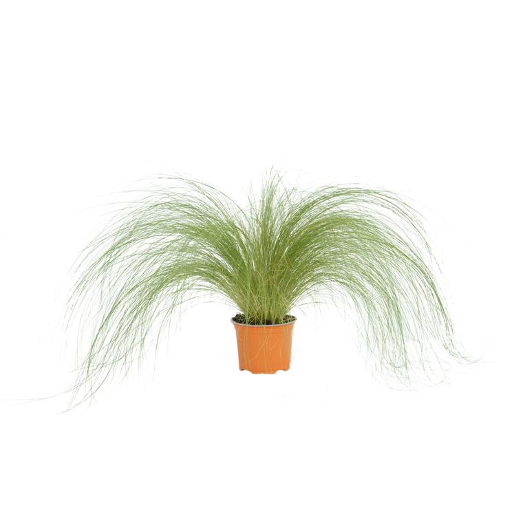 Stipa cheveux d'anges vert en pot Ø 12 cm