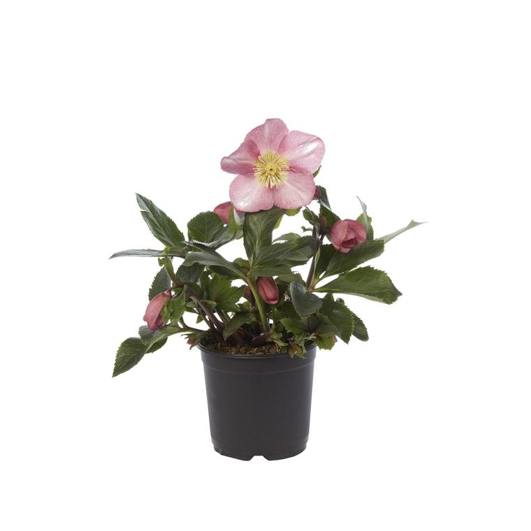 Rose de Noël. Le pot de 1,5 litres 116361