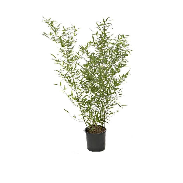 Bambou Phyllostachys Bissetii - Pot de 7L 116722