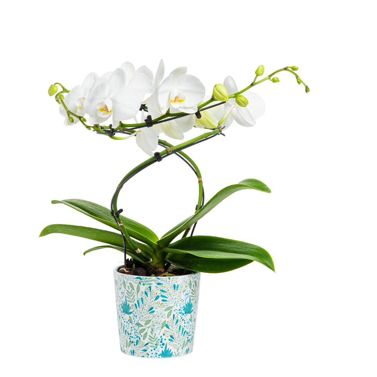 PHALAENOPSIS SNOW QUEEN 2 BR + CP 116723