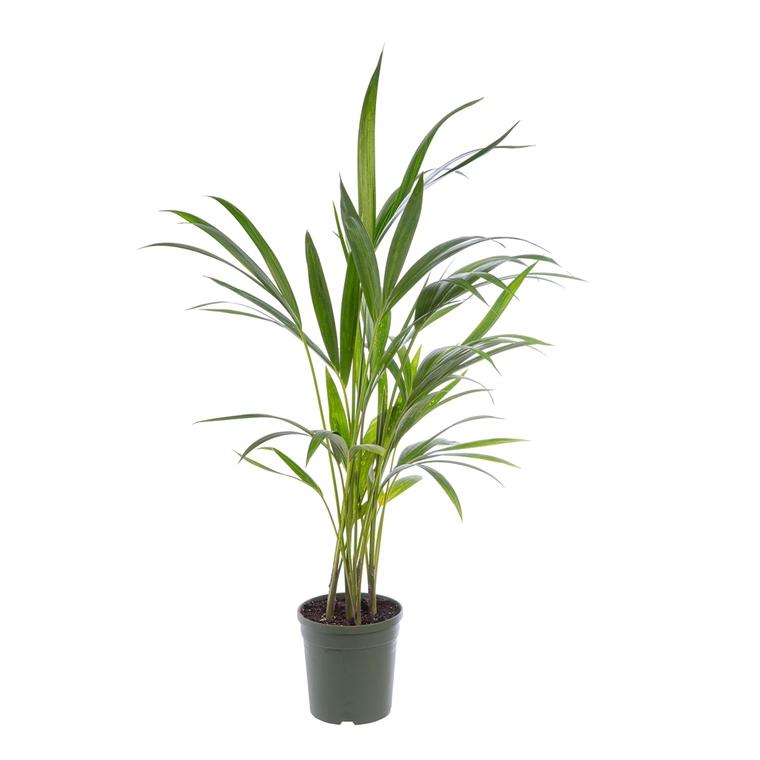 Kentia Forsteriana pot Ø17 cm/ H80 cm 116779