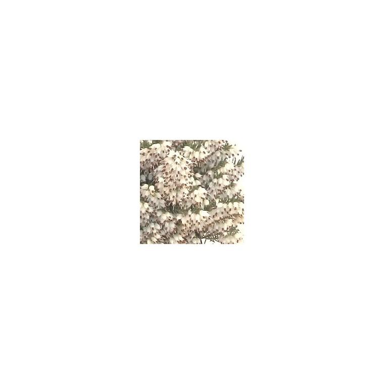 Bruyère carnéa blanche. Le panier déco 116784