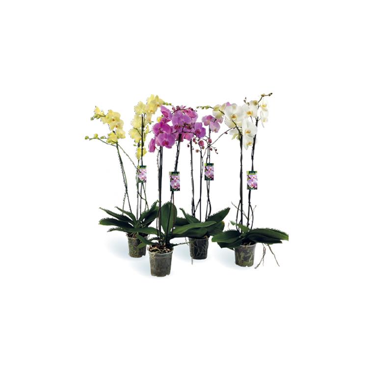 Orchidée Phalaenopsis 3 branches. Le pot de 15 cm