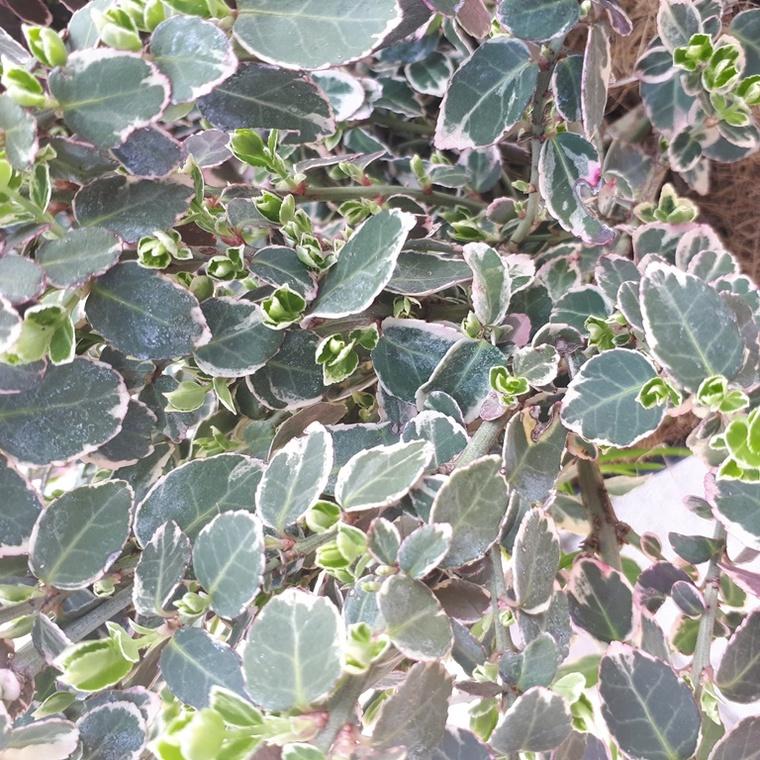 Euonymus Fortunei Emerald Gaiety panaché blanc 30/50 cm en pot de 4 L 117201
