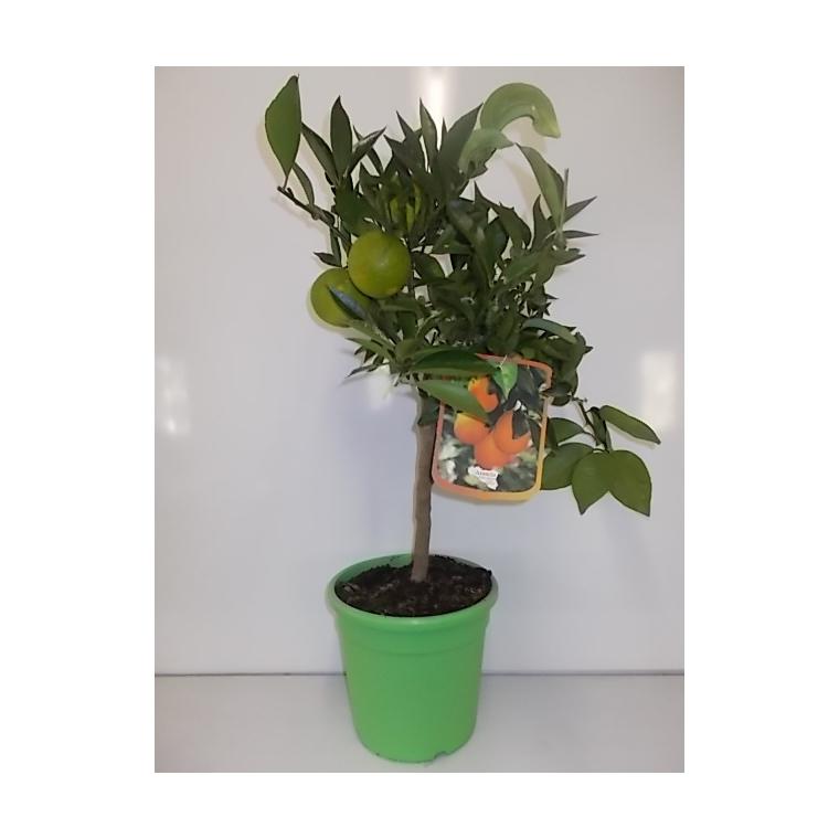 Oranger. Le pot de 5 litres en forme 1/4 tige 117255