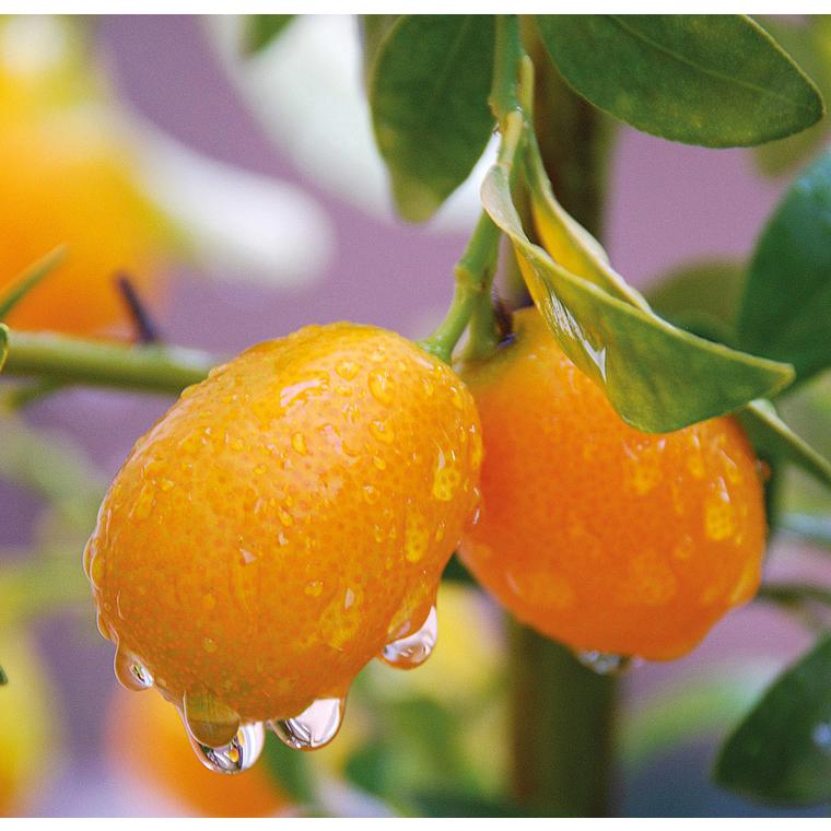 Kumquat. Le pot de 5 litres en forme 1/4 tige 117256