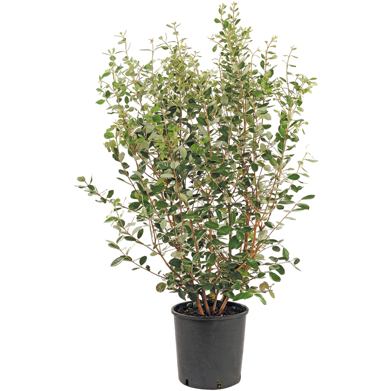 Goyavier Feijoa Sellowiana en pot de 30 L 118352