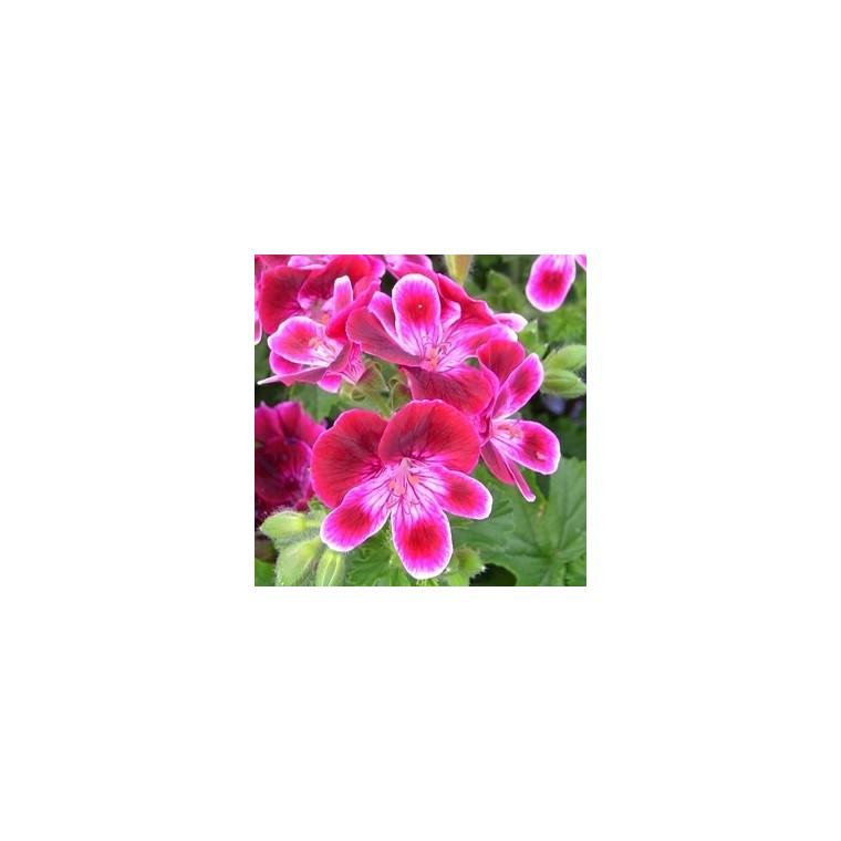 Géranium pensée à petites fleurs. La jardinière de 50 cm 118615