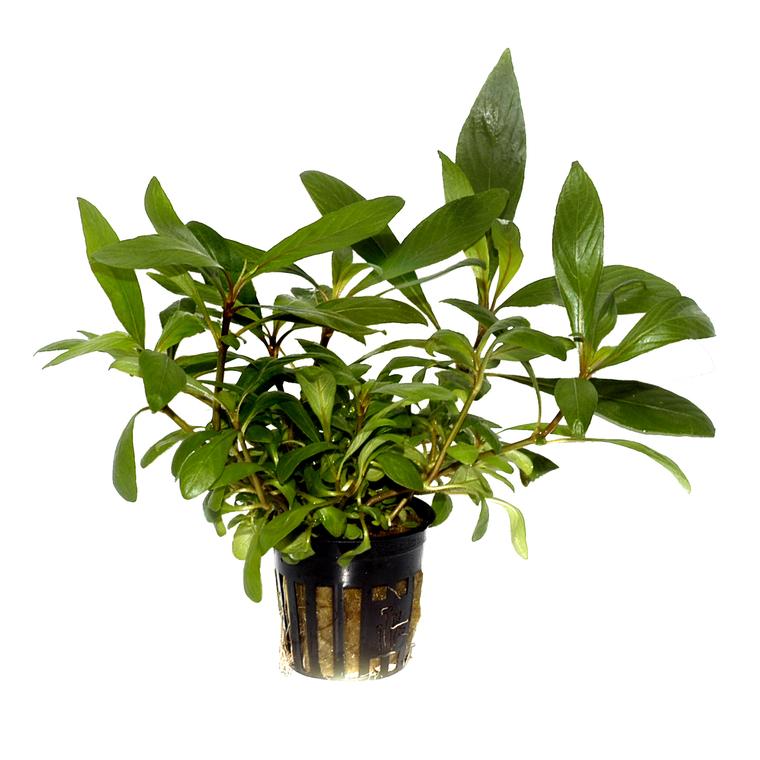 Plante aquatique Hygrophila Corymbosa Angustifolia en pot 126616