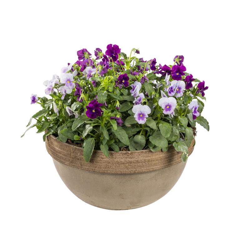 Viola cornuta multicolore dans une coupe en terre cuite 128643