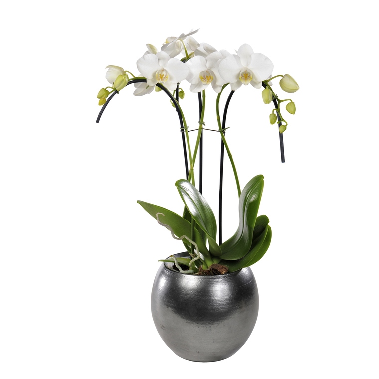 Phalaenopsis Umbrella H 65 cm avec cache pot céramique Ø 12 cm 128805