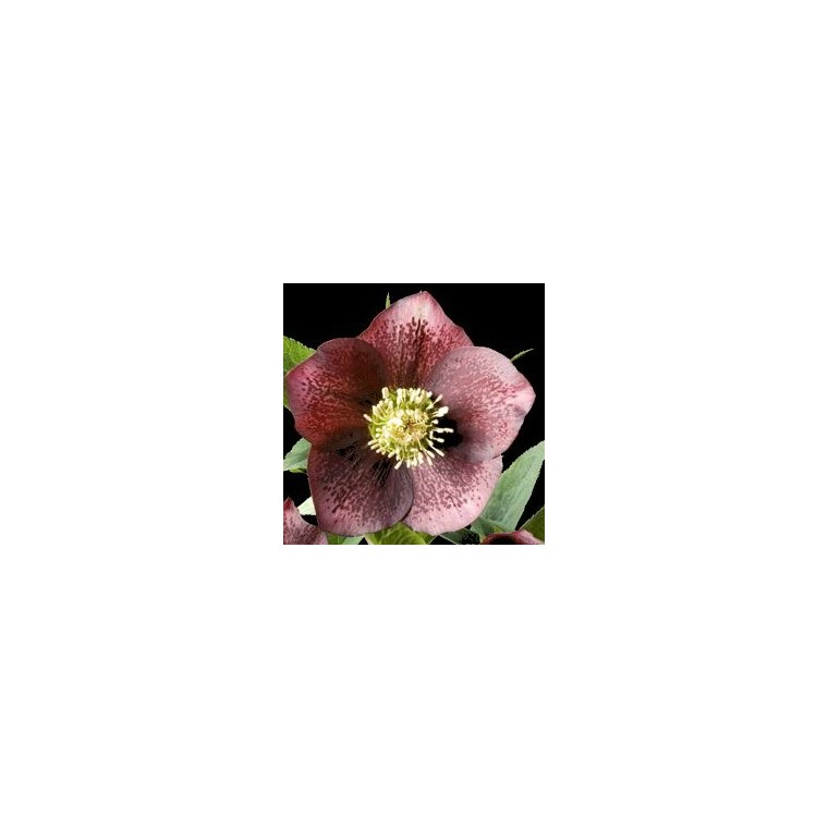Helleborus Orientalis Rouge Ponctue. Le pot de 1 litre 129370