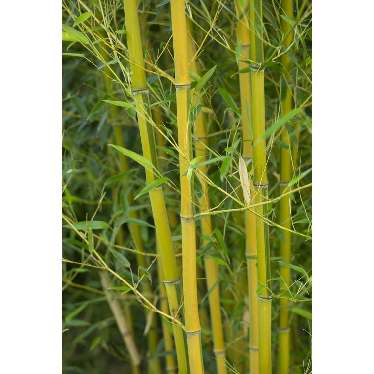 Bambou phyllostachys aureosulcata spectabilis vert pot de 7L