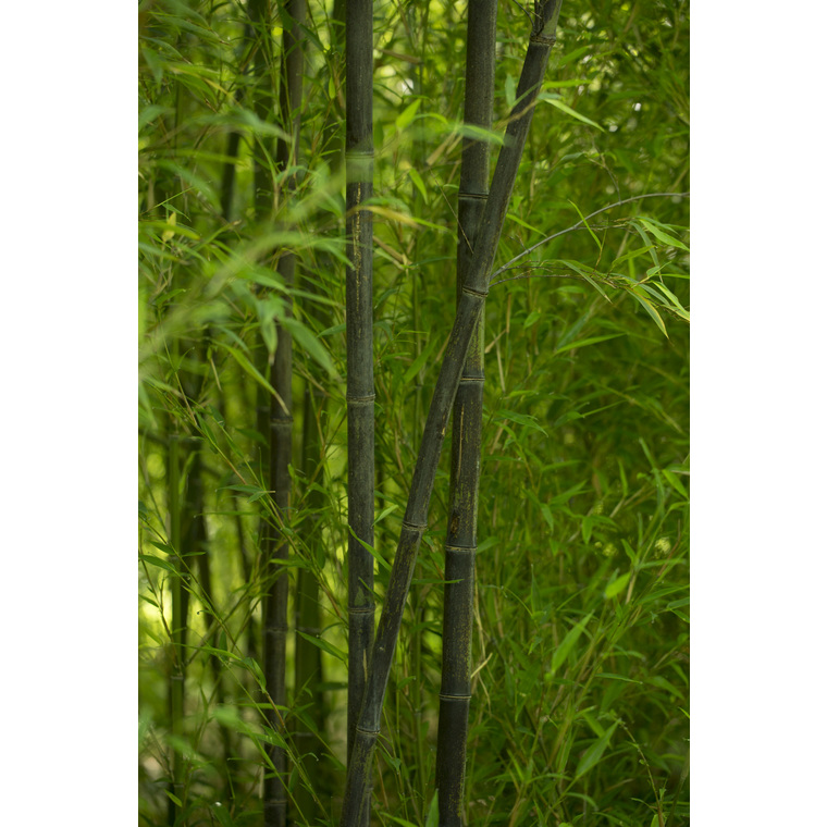 Bambou phyllostachys nigra vert pot de 7L 134434