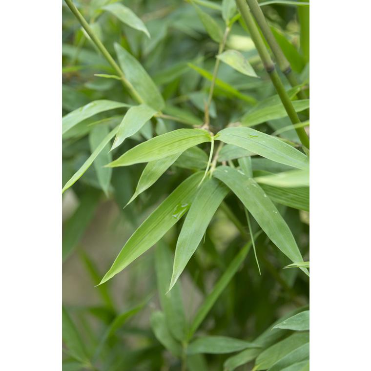 Bambou semiarundinaria makinoi vert pot de 7L