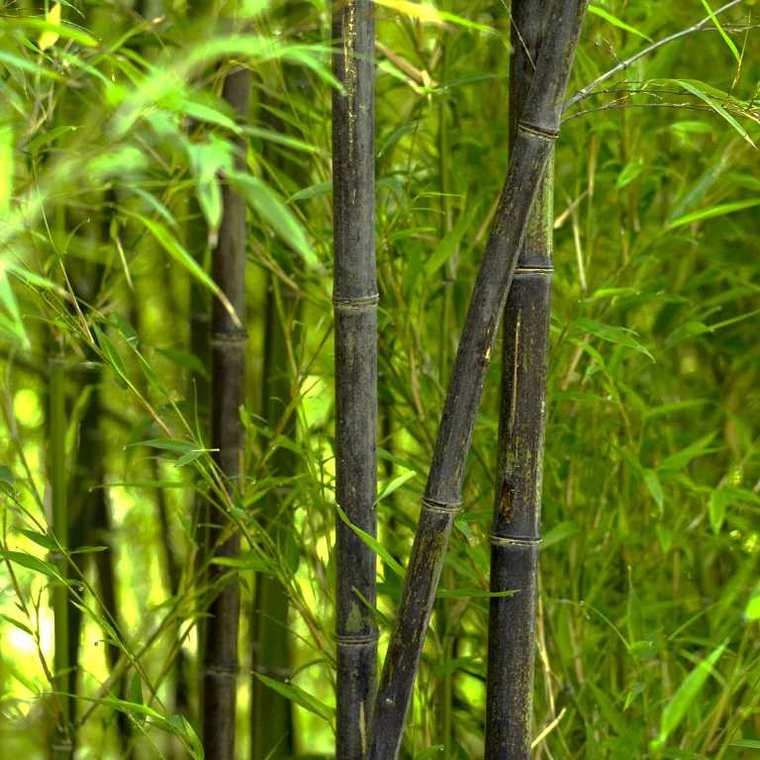 Bambou phyllostachys nigra vert pot de 15L
