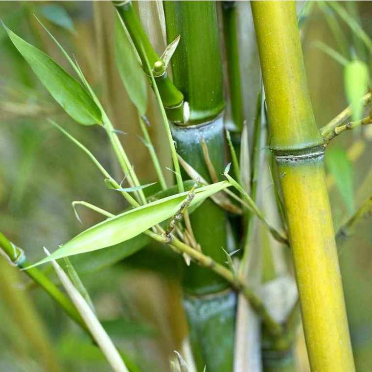 Bambou phyllostachys aureosulcata aureocaulis vert pot de 30L