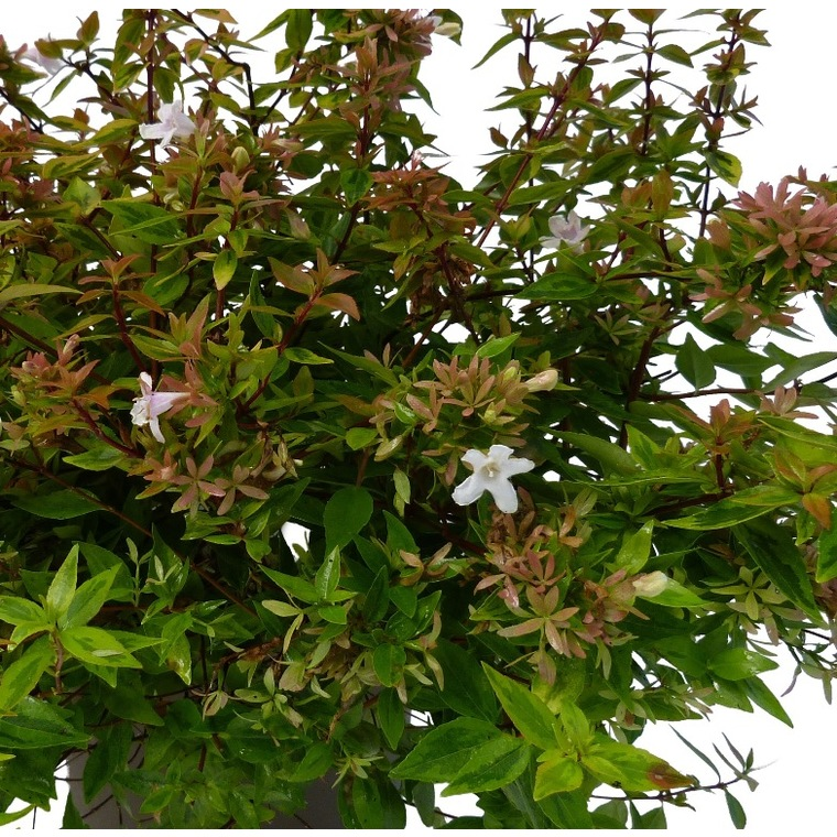 Abélia Grandiflora Kaleidoscope. Le pot de 5 litres 134736