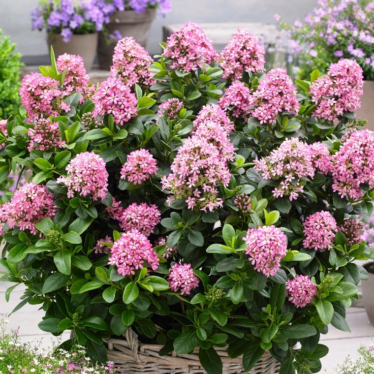 Escallonia Laevis Pink Elle rose en pot de 4 L 135654