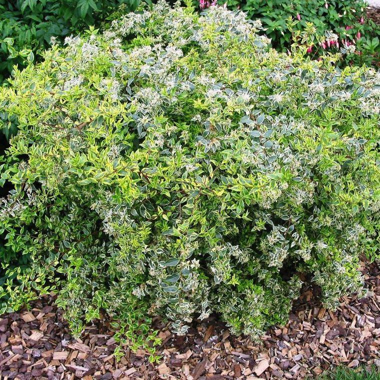 Abélia Grandiflora Hopleys blanc. Le pot de 4 litres 135920