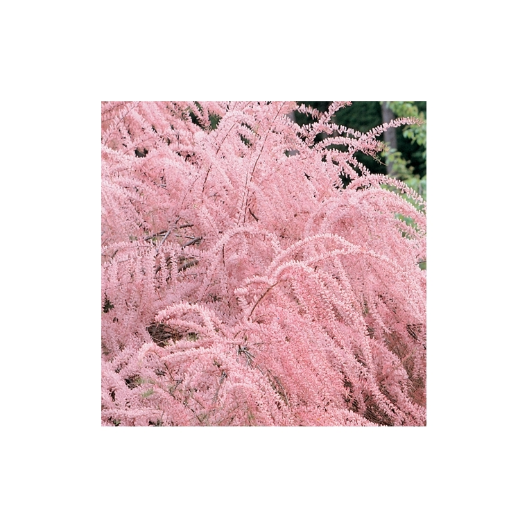 Tamaris de Printemps - pot 3 L 136010