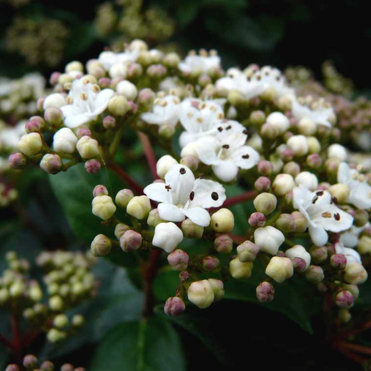 Laurier tin Viburnum Tinus – Pot de 7L 136086