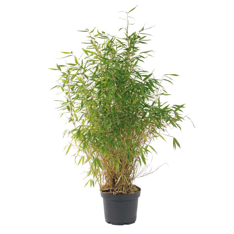 Bambou Fargesia vert en pot de 12 L 136125