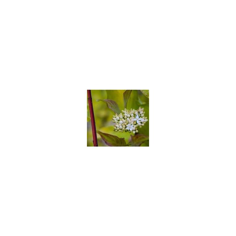Cornouiller doré - Pot de 7 litres 136283