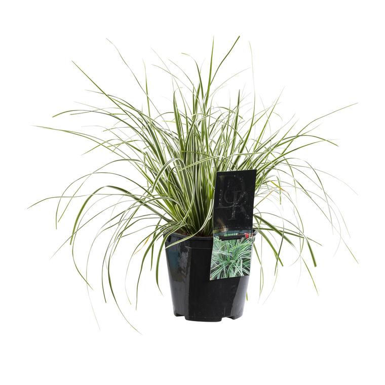Carex. Le pot de 2 litres 138566