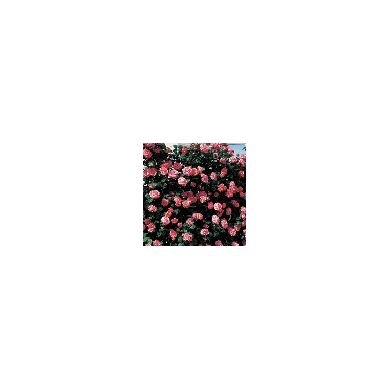 Rosier rose grimpant  – Pot de 7L 139298