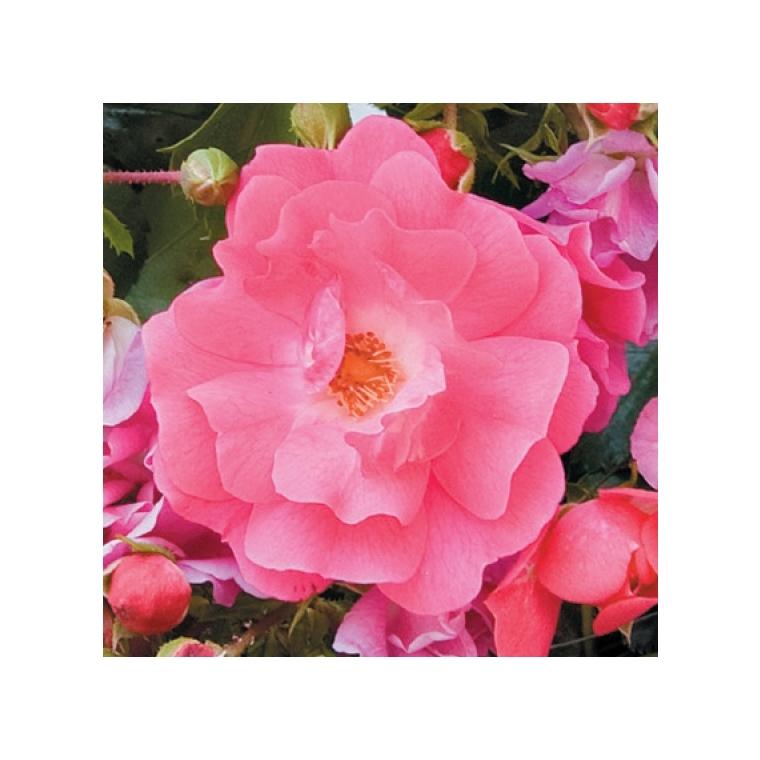 Rosier emera rose avec pot bleu de 5 L