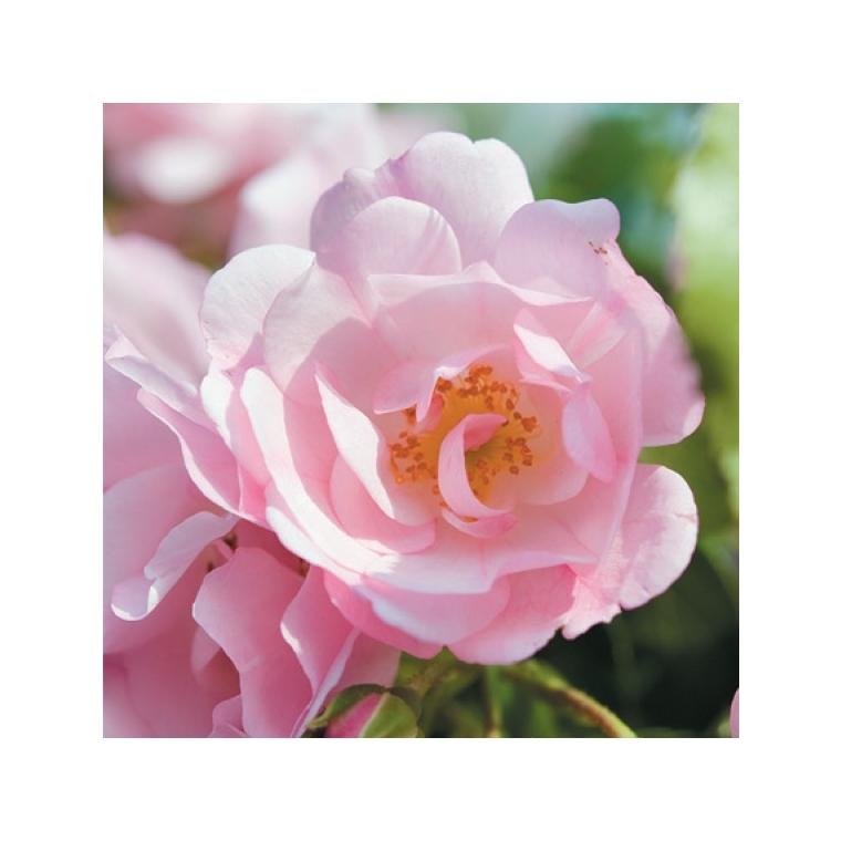 Rosier mareva rose avec pot bleu de 5 L