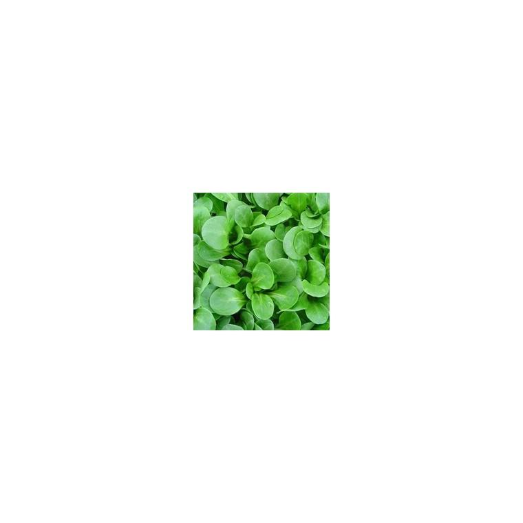 Mache Gala bio. La barquette de 12 plants 447449