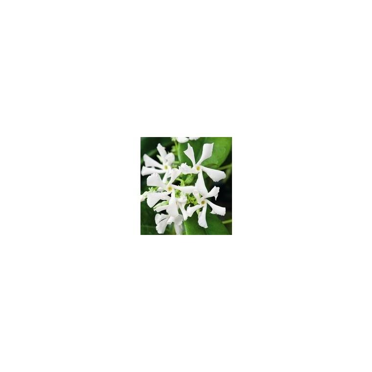 Jasmin étoilé (Trachelospermum Jasminoides). Le pot de 5 litres 101423