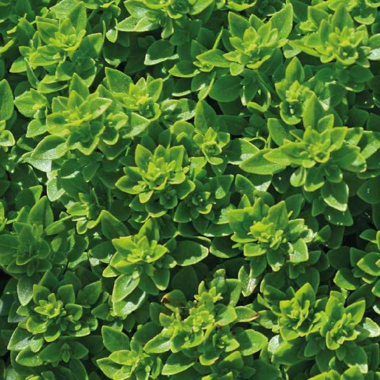 Basilic Fin Vert. Le pot de 1 litre recyclé
