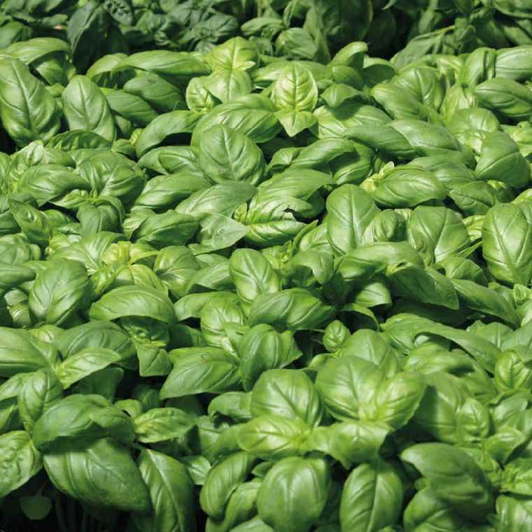 Basilic Grand Vert bio. Le pot de 1 litre recyclé 14864