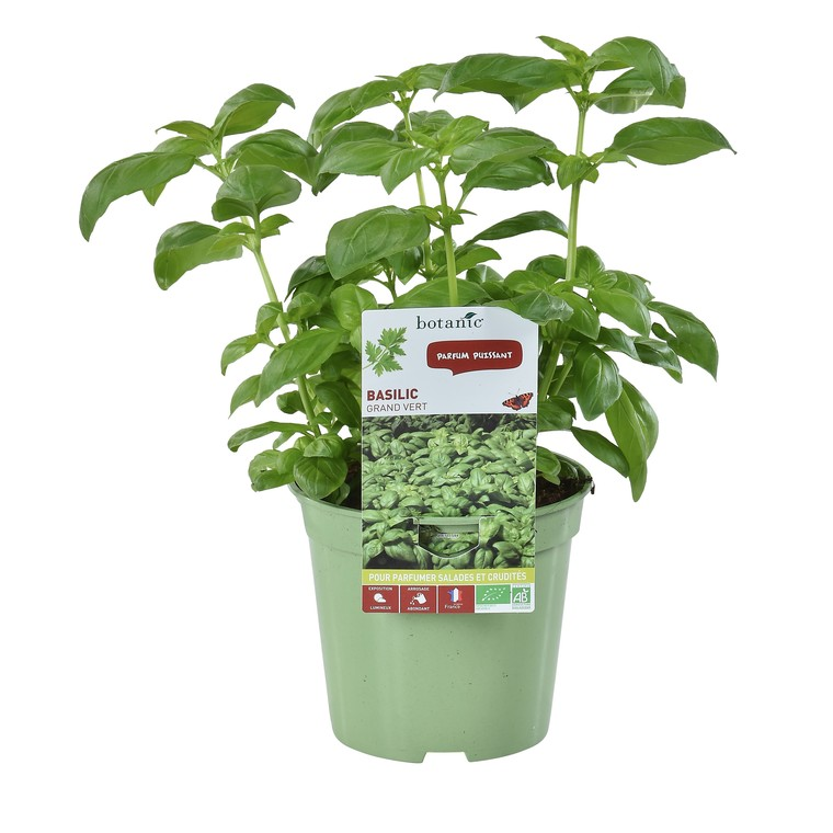 Basilic Grand Vert. Le pot de 1 litre recyclé