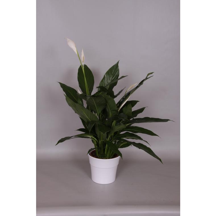 Spathiphyllum Cupido + cache-pot 14929