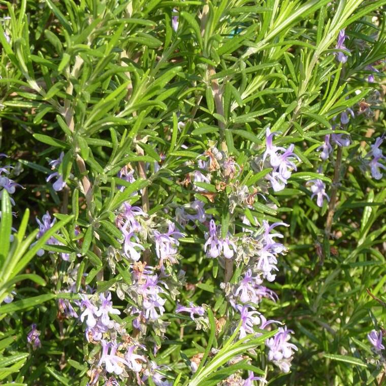 Romarin bleu en pot de 3 L 149990