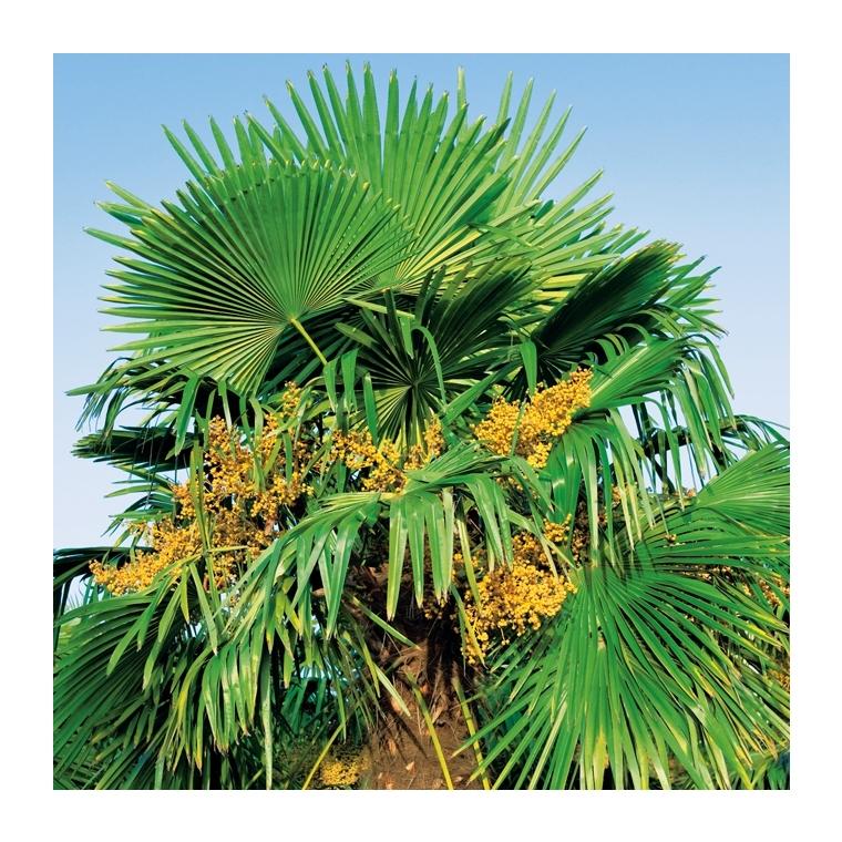 Palmier de Chine - pot 90 L 150016