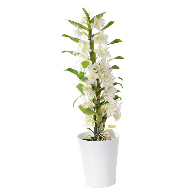 Orchidée Dendrobium nobile + cache-pot. Pot 12 cm 152887