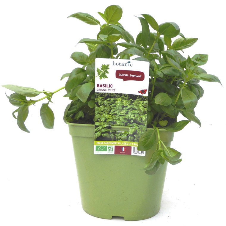 Basilic Fin Vert. Le pot recyclé de 2,5 litres